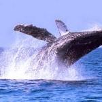 ballena gris los cabos
